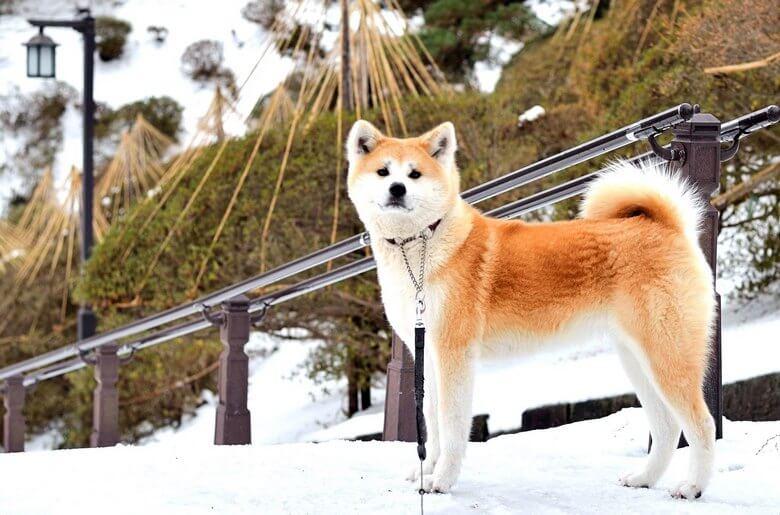 گرانترین سگهای دنیا,گرانترين سگ دنيا,گرانترين سگ هاي دنيا,