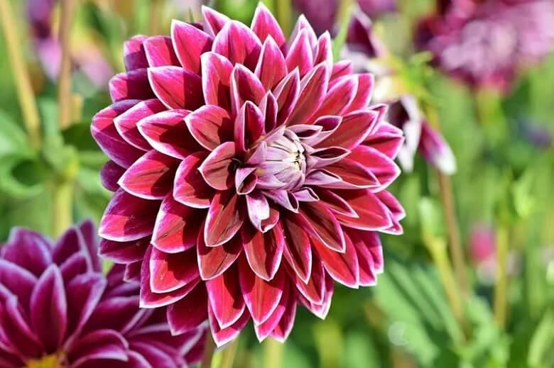 زيباترين گل هاي جهان,زیباترین گل رز,زیباترین گل های جهان,
