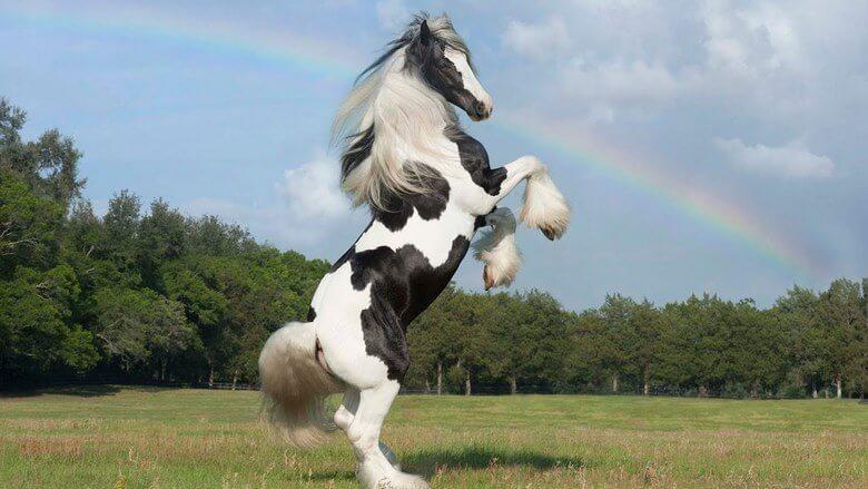 گرانترین و زیباترین اسب دنیا,زيباترين اسب دنيا,زیباترین اسب عرب دنیا,