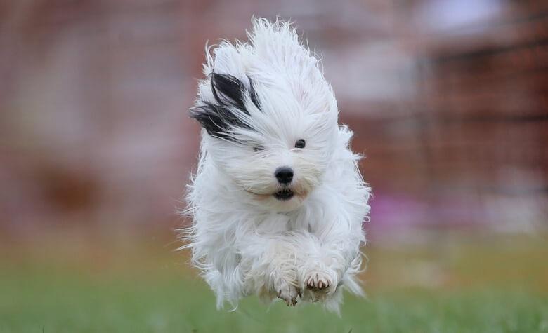 گرانترین سگ ها,گرانترین سگ های جهان,گرانترین سگ های خانگی,