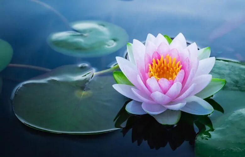 زیباترین گل رز,زیباترین گل های جهان,زیباترین گل های جهان طبیعی,