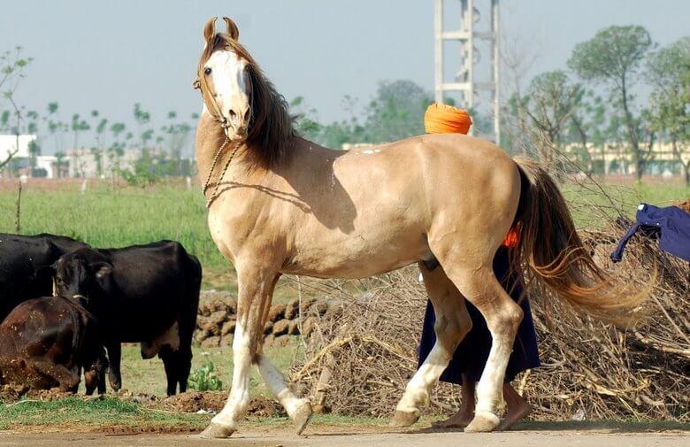 زيباترين اسب دنيا,زیباترین اسب عرب دنیا,زیباترین اسب های جهان,