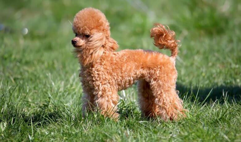 سگ های باهوش جهان,۱۰ تا از باهوش ترین نژاد سگ ها,10 سگ باهوش جهان