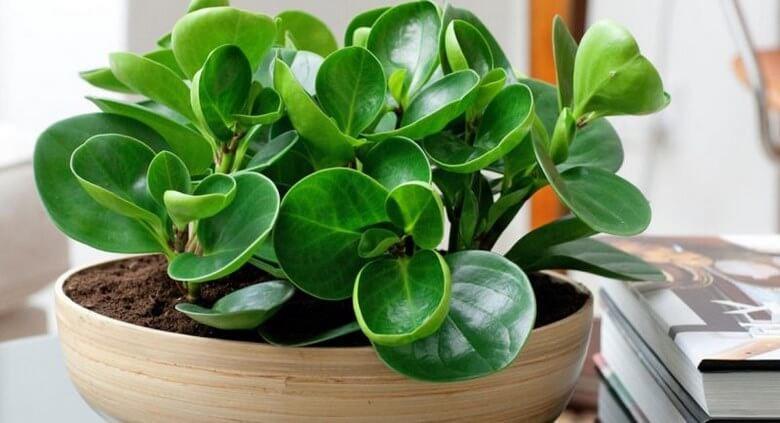 گیاه تصفیه کننده هوا,گیاه تصفیه کننده هوا خانه,گیاه تصفیه کننده هوای خانه