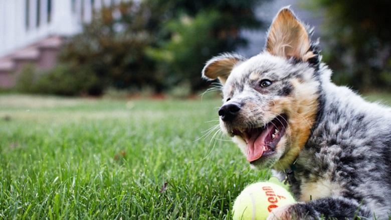 باهوش ترین سگ های جهان,ده سگ باهوش جهان,ده سگ باهوش دنیا