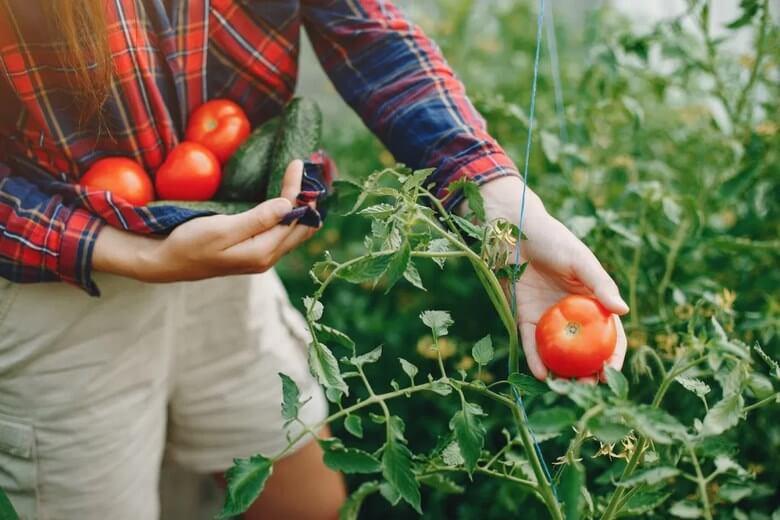 مضرات گوجه فرنگی,مضرات گوجه فرنگی در بارداری,مضرات گوجه فرنگی طب سنتی,