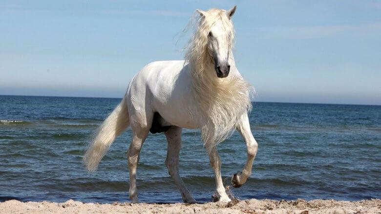 زيباترين اسب دنيا,زیباترین اسب عرب دنیا,زیباترین اسب های جهان