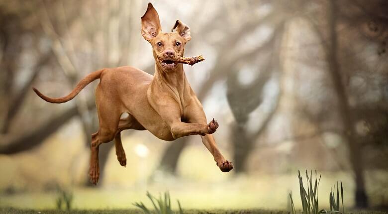 گرانترين سگ دنيا,گرانترين سگ هاي دنيا,گرانترین سگ دنیا