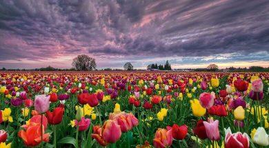 تصویر از 10 تا از مشهورترین گل های دنیا