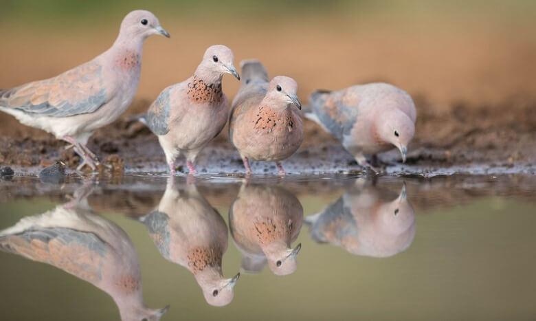فرق قمری و یاکریم,پرنده مرغ مینا,پرندگان تزیینی ایران